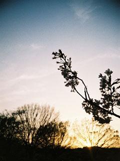 夕日の桜@代々木公園
